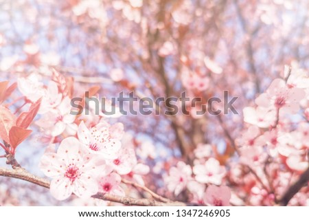Spring Cherry blossoms Background, Blossoming cherry Close Up #1347246905