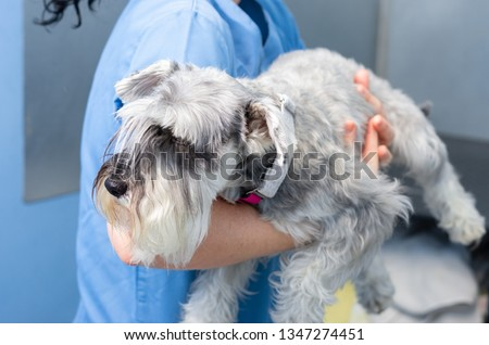 Veterinarian transports carefully a miniature schnauzer an arms before the veterinary consultation #1347274451