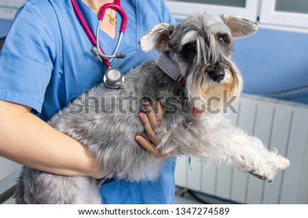 Veterinarian transports carefully a miniature schnauzer an arms before the veterinary consultation #1347274589