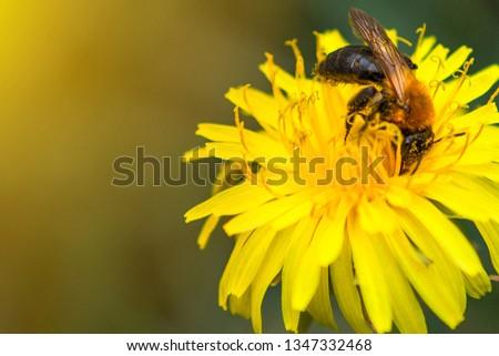 Honey bee on dandelion. Honey bee pollinating on spring meadow. #1347332468
