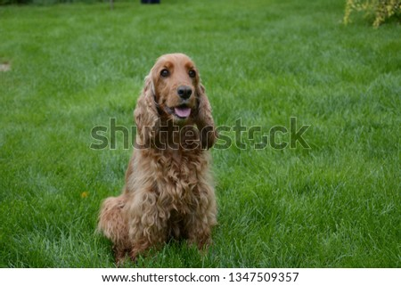 Red English Cocker Spaniel on the lawn #1347509357