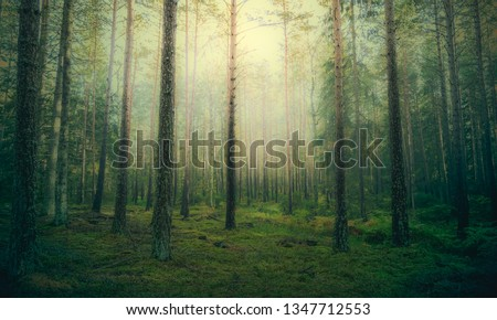 Beautiful pine forest at foggy sunrise. Tree trunks and cold mist #1347712553