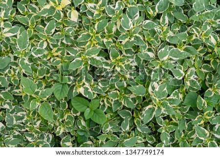 Green white leaves in the garden #1347749174