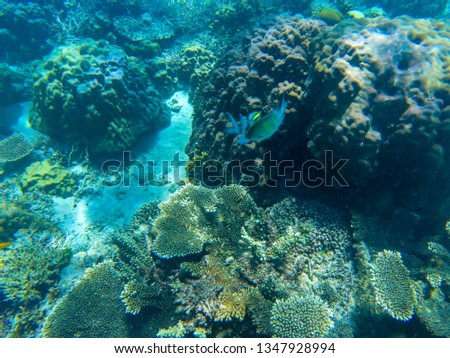 Yellow dascillus fish in coral reef underwater photo. Exotic fish in nature. Tropical seashore snorkeling or diving. Undersea wildlife. Coral reef and marine animal. Sea bottom scene with coral fish #1347928994