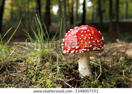 Fly Agaric Mushroom, closeup. Amanita muscaria (or fly agaric or fly amanita), is a psychoactive basidiomycete fungus and inedible poisonous mushroom. Close up photo of red fungi. #1348007591