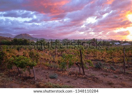 Vineyard seen from street with Swarzberg mountaing range and village of Calitzdorp in background at sunset #1348110284