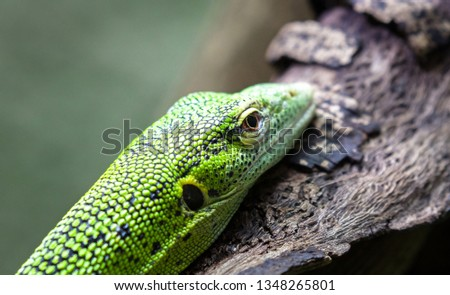 An emerald tree monitor (also called a green tree monitor, Varanus prasinus), resting on a tree branch. #1348265801