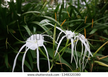 hymenocalls speciosa or in Indonesian commonly called lilies / lilies fountains / spiderlily have pretty beautiful flowers, green leaves are firm and very adaptable so they are easily bred #1348320380