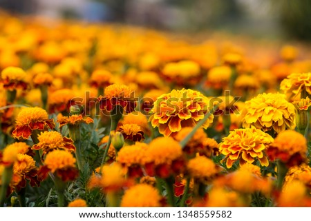yellow flower. calendula blooming. monday morning.