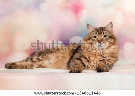 Siberian cat kitten on beautiful background for postcards  #1348611446