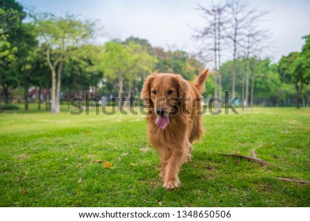 Cute Golden Retriever dogs play in Park Meadows #1348650506