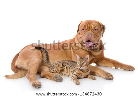 Dogue de Bordeaux (French mastiff) and Bengal cat (Prionailurus bengalensis) lying together. isolated on white background #134872430