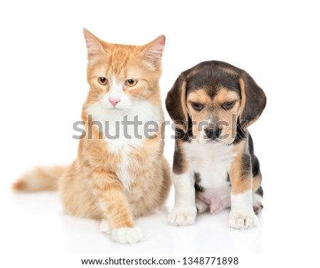 Cute beagle puppy and red tabby cat sitting together. isolated on white background #1348771898