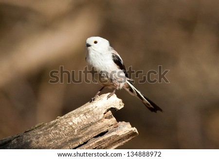 long tailed tit #134888972