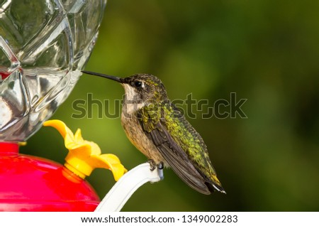 Ruby-throated hummingbird female, Archilochus colubris. Close-up portrait of the female ruby throated hummingbird resting at a hummingbird feeder with shimmering green back. Horizontal photo.