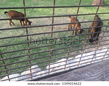 lambs animals zoo #1349014622