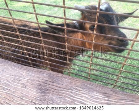 lambs animals zoo #1349014625