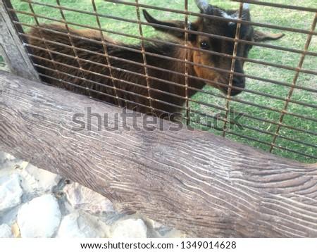 lambs animals zoo #1349014628