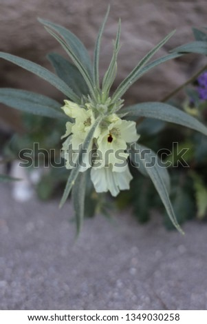 Translucent Yellow Ghost Flower in Anza-Borrego #1349030258