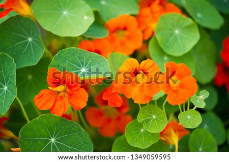 "Tropaeolum, commonly known as nasturtiums literally ""nose twister""  native of South and Central America, The flowers are bisexual and zygomorphic, #1349059595"