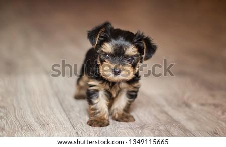 Little yorkshire terrier puppy plays #1349115665