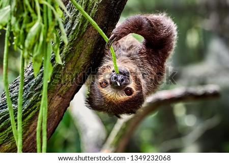 sloth hanging on a tree and eating leaves