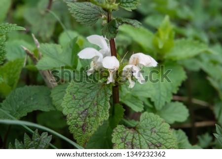 White Dead Nettle Flowers in Bloom in Winter #1349232362