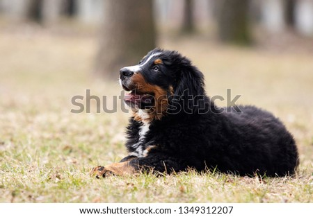 Bernese Mountain Dog puppy for a walk #1349312207