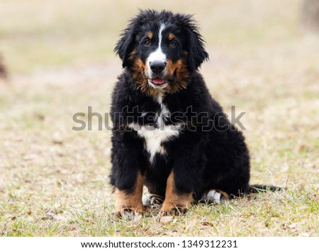 Bernese Mountain Dog puppy for a walk #1349312231