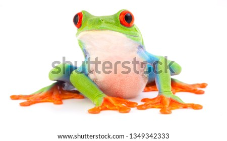Red eyed monkey tree frog, Agalychnis callydrias. A tropical rain forest animal with vibrant eye isolated on a white background. #1349342333