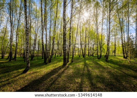 Birch forest with young leaves in spring with the sun shining through the trees at evening. Landscape. Sunset. #1349614148