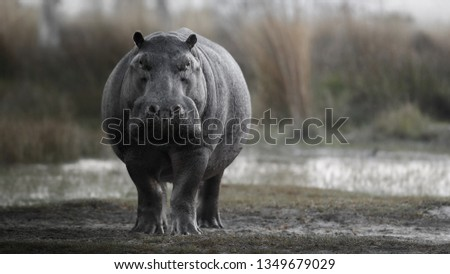Aggressive hippo male attacking the car. Huge hippo male intimidating the opponent. Wild animal in the nature habitat. African wildlife. This is Africa. Hippopotamus amphibius. #1349679029