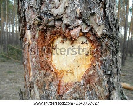 Cut in the trunk of a tree in the form of a heart with drops of resin in the form of tears #1349757827