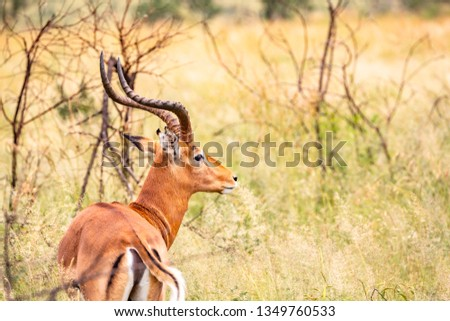 An Impala looks on at the tourists in Masai Mara , Africa. #1349760533