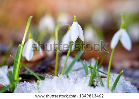 Snowdrops (Galanthus) in the spring forest. Harbingers of warming symbolize the arrival of spring. #1349813462