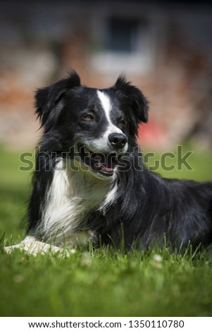 Border collie dog portrait, close up of cute border collie dog #1350110780