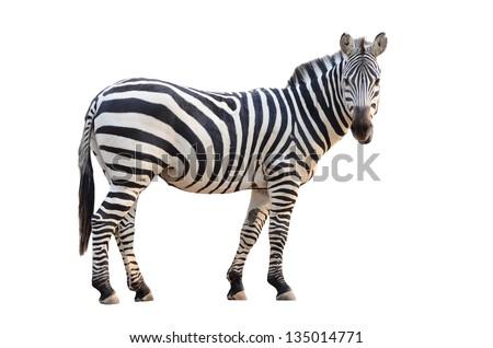 zebra isolated on white background Royalty-Free Stock Photo #135014771