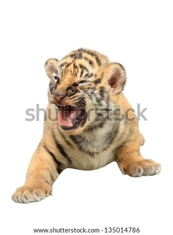 baby bengal tiger isolated on white background #135014786