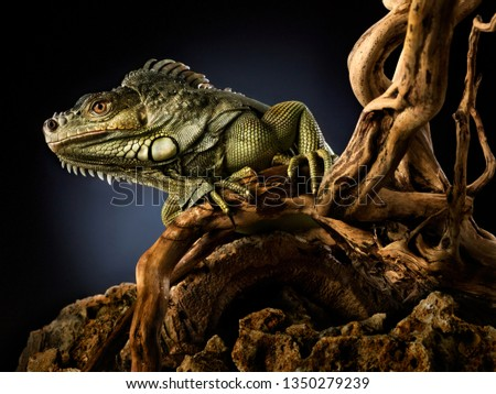 Creative animal nature concept photo of green reptile iguana lizard on a tree branch. #1350279239