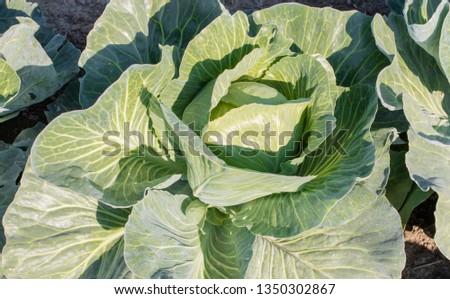 Cabbage field in the cabbage growing region Schleswig Holstein #1350302867