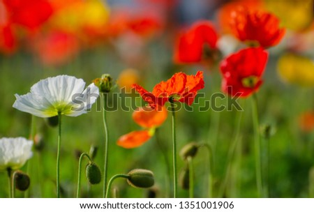 poppies field in rays sun #1351001906