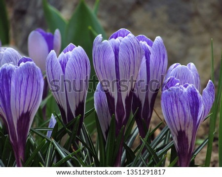 The magical beauty of the spring blue crocus #1351291817
