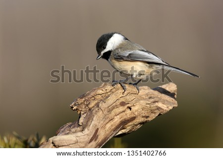 Chickadee On A Branch #1351402766