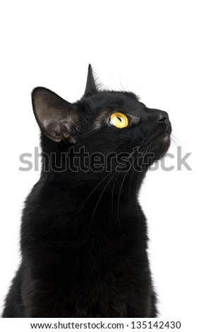Black cat looking up with interest isolated on white