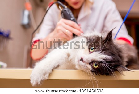Beautiful cat. Grooming animals, grooming, drying and styling cats, combing wool. Grooming master cuts and shaves, cares for a cat. Beautiful British cat. #1351450598