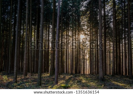 Forest with narrow trees just before sunset #1351636154