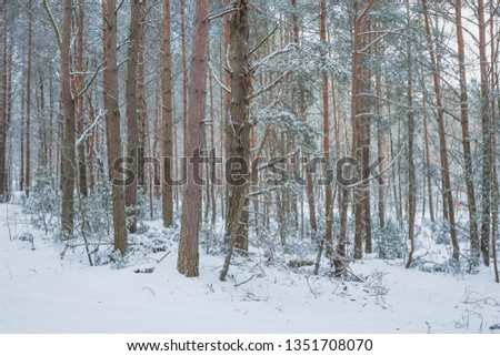 Winter day in a pine forest. Nature in the vicinity of Pruzhany, Brest region, Belarus.  #1351708070