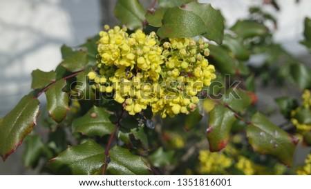Yellow Mahonia aquifolium Flowers blooming #1351816001