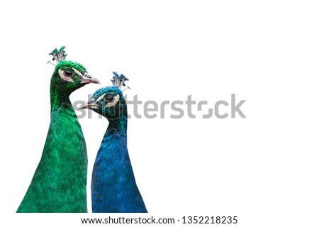 A pair of beautiful peacocks on a white background. The concept of the seasons. The green peacock symbolizes summer, and the blue symbolizes winter. #1352218235