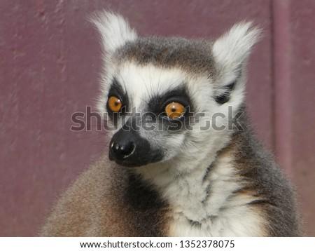 Ring tailed lemur #1352378075
